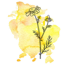 chamomile flower at watercolor background vector image