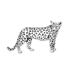hand drawn leopard vector image