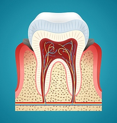 Starting disease gum and caries on human teeth vector image