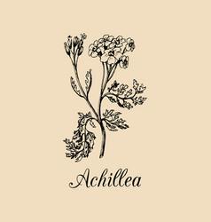 yarrow hand drawn achillea vector image