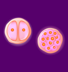 Human egg cell vector image vector image