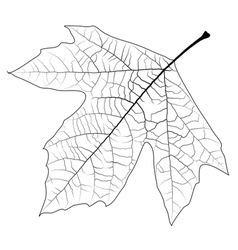 Unclolred Sycamore Leaf vector image vector image