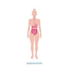 Human digestive system diagram on female body vector