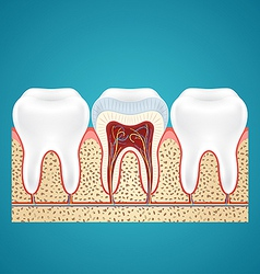 Three healthy human tooth vector image vector image