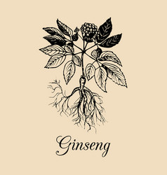 ginseng root leaves and flower vector image