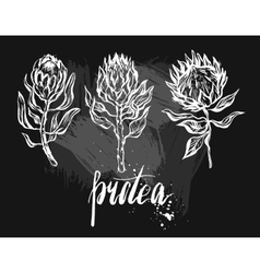 Watercolor isolated drawing exotic flower Protea vector