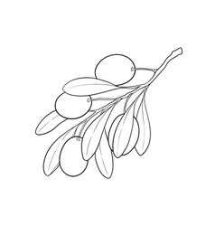 black and white outline olive branch with leaves vector image
