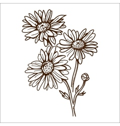 Camomile flower isolated on white vector