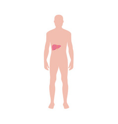 Human organs infographic - male body with liver vector