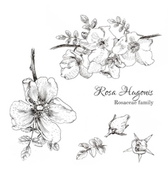 Rosa Hugonis ink sketch vector