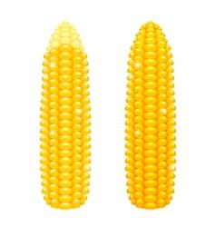Corncobs vector image