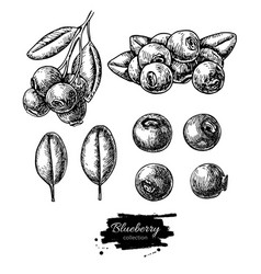 blueberry drawing set isolated hand drawn vector image