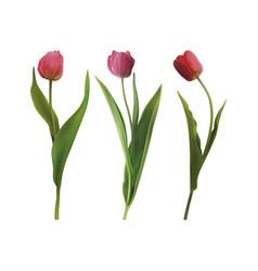 set tulip flowers vector image