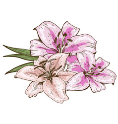 bouquet of three pink lily flowers hand drawn vector image