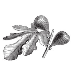 Fruiting branch of fig vintage vector