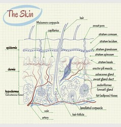 Skin Anatomy vector