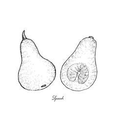 Hand drawn of squash on a white background vector