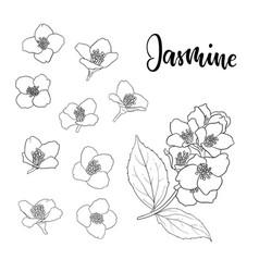 set beautiful flower jasmine outline isolated vector image
