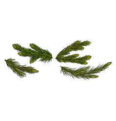 coniferous tree green branches iisolated on white vector image