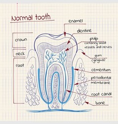 tooth structure vector image vector image