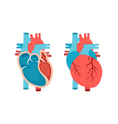 Heart anatomy with cross-section and non cut view vector