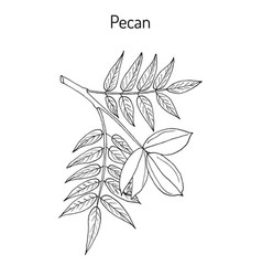 pecan carya illinoinensis nuts with leaves vector image