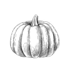 hand drawn pumpkin vector image