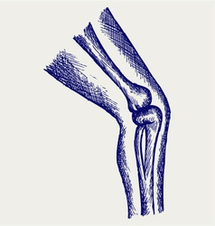 Human leg bones vector image