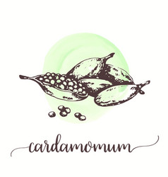 cardamom spice fruit with seeds hand drawn vector image