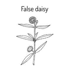 false daisy medicinal plant vector image