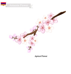 Apricot Flowers A Popular Flower in Armenia vector image vector image