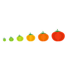 Tomato sectional ripeness stages seed ripening vector