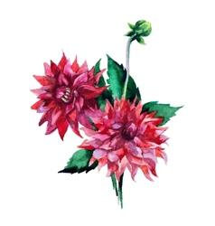 Dahlia flowers watercolor vector image vector image