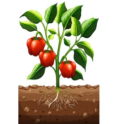Capsicum plant on the farm vector image vector image
