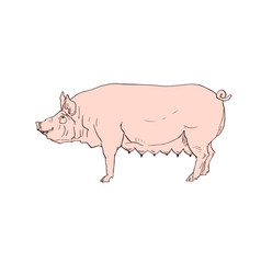 black pig silhouette and pink grunge coloring vector image