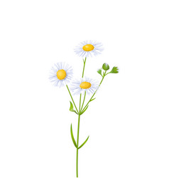 of white fleabane vector image
