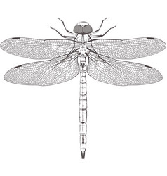 Large symmetrical dragonfly vector