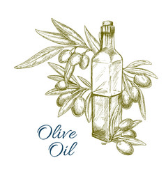 Olive oil bottle and olives branch sketch vector