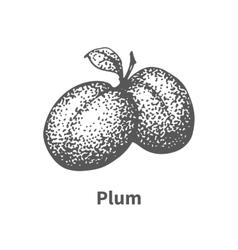 hand-drawn plum vector image
