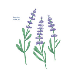 Gorgeous purple lavender flowers and green leaves vector