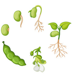 Life cycle of green bean vector