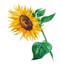 sunflower flower painted by hand vector image vector image
