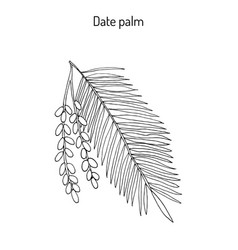 date palm phoenix dactylifera vector image
