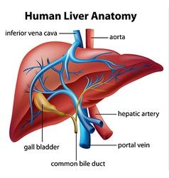 Human Liver Anatomy vector