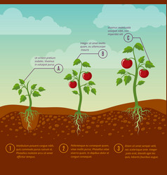 Tomatoes growth and planting stages flat vector