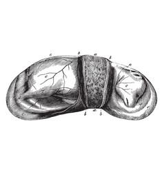 Dog fetus vintage vector