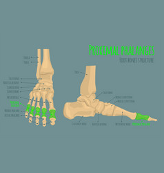 Foot bones anatomy vector