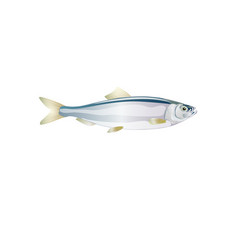 Herring shad baltic fish for design seafood vector