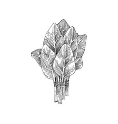 hand drawn spinach bunch vector image