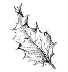 ilex aquifolium vintage vector image